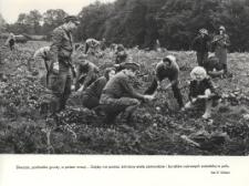 Żołnierze przy zbiorze buraków cukrowych